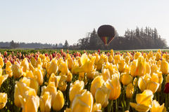 Hot air balloon ride over the tulips Royalty Free Stock Photos