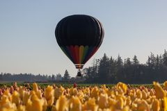 Hot Air Balloons Over Tulip Field stock image
