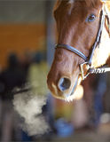 Hot Breath. Breath misting from a horse's nostril in a winter arena Royalty Free Stock Image