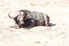 Hot Buffalo Royalty Free Stock Photography