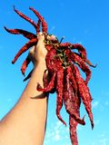 Hot chili peppers. Hand holding bunch of dry hot chili peppers Stock Photography