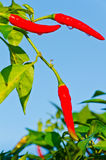 Hot chili peppers isolated Stock Image