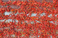 Hot chilli is drying on old zinc sheets. Royalty Free Stock Image