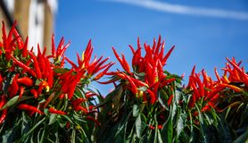 Hot chilli peppers. Royalty Free Stock Photography