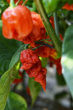 Carolina Reaper Chilli Peppers Royalty Free Stock Image