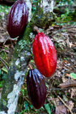 Hot cocoa pods. Cacao pod on tree (theobroma cacao) - various stages of ripening Stock Image