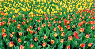Hot- colored spring tulips Stock Image
