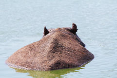 On a hot day hippopotamus resting at the lake Stock Photos