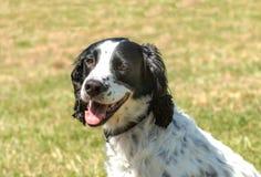 Hot dog - genuine Canine Stock Images