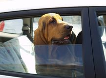 Hot Dog Trapped in Hot Car. A hound dog looking pretty hot in a car on a hot summer day stock image
