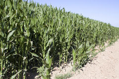 Hot and Dry Arizona Desert Cornfield Royalty Free Stock Photography