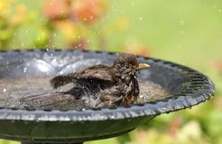 Hot female Blackbird cooling down Stock Photos