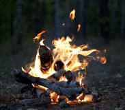 The hot fire. Of birch twigs in the forest Royalty Free Stock Photo