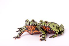 Hot Frogs!. Two Fire Bellied Frogs isolated against a white backdrop royalty free stock photography