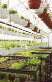 Hot-house plants. The cultivation of seedlings in the greenhouse Stock Image