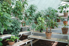 Hot House Plants on Benches. A hot house filled with plants which thrive in a hot, humid environment Stock Photography