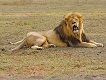 Hot Lion Stock Images