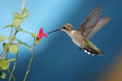 Hot Lips Hummer royalty free stock images