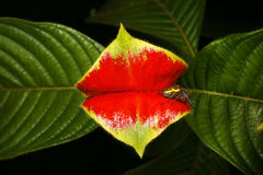 Hot Lips Plant Royalty Free Stock Image