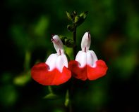 HOT LIPS. Salvia plant with red and white flowers Stock Photos