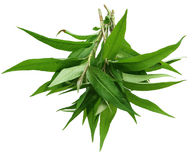 Hot mint, laksa leaves Royalty Free Stock Photo