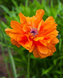 Hot orange oriental poppy Stock Images