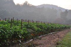 Hot Pepper Farm. Organic pepper farm near Asheville, North Carolina growing the hottest peppers in the world Stock Photo
