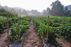 Hot Pepper Farm. Organic pepper farm near Asheville, North Carolina growing the hottest peppers in the world Stock Photography