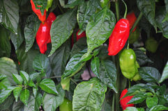 Hot Pepper Farm. Organic pepper farm near Asheville, North Carolina growing the hottest peppers in the world Royalty Free Stock Images