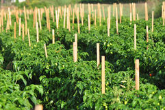 Hot Pepper Farm Royalty Free Stock Image
