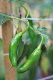 Hot Pepper Farm. Organic pepper farm near Asheville, North Carolina growing the hottest peppers in the world Royalty Free Stock Photo
