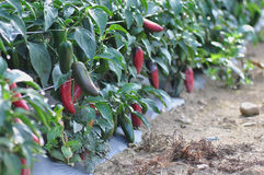 Hot Pepper Farm Royalty Free Stock Photo