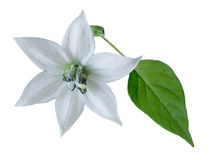 Hot pepper flower and leaf Royalty Free Stock Image