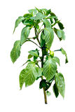 Hot pepper plant blooming with little peppers - isolated on whit Royalty Free Stock Photos