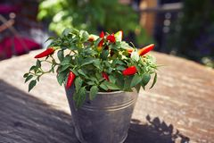 Hot pepper plant pot. On a table royalty free stock photo