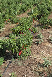 Hot pepper plantation Stock Photography