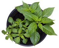 Hot pepper potted plants Royalty Free Stock Photography