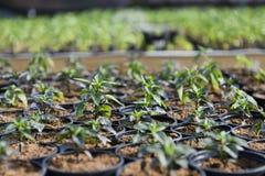 Hot Pepper Saplings in Pots. Hot pepper saplings in a greenhouse Stock Images