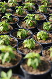 Hot Pepper Saplings in Pots. Hot pepper saplings in a greenhouse, vertical composition Royalty Free Stock Image