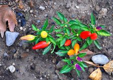 Hot peppers of different varieties of maturity. With green leaves growing on gray ground stock photography