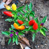 Hot peppers of different varieties of maturity. With green leaves growing on gray ground royalty free stock photos