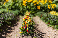 Hot peppers plant Stock Photos