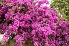 Hot pink Bougainvillea bush Royalty Free Stock Photo