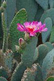 Hot pink cactus flower Royalty Free Stock Image