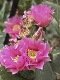 Hot Pink Cactus Flowers Royalty Free Stock Photos
