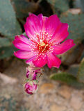 Hot pink cactus flowers Royalty Free Stock Photo