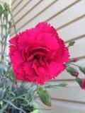 Hot pink carnation Stock Images