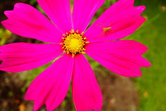 Hot pink cosmos and bright green bug and grass Royalty Free Stock Photo