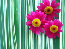 Hot Pink Daisies. Closeup of pink daisies on green and white striped ribbon grass royalty free stock photos