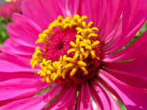 Hot Pink Flower Stock Images